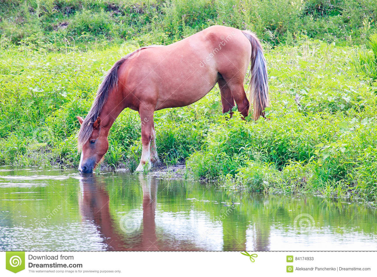 Horse drinking water from the river