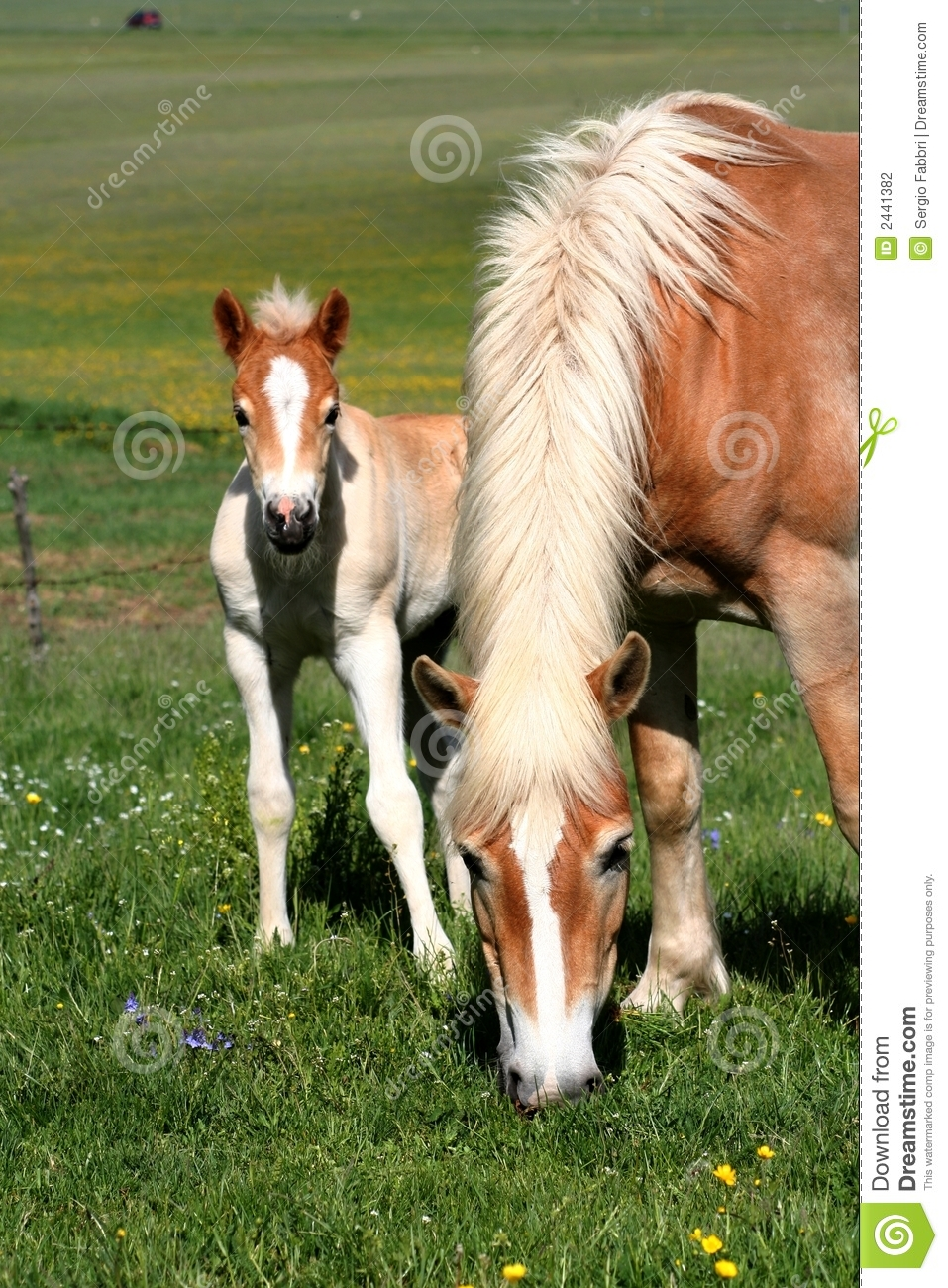 Horse eating grass and foal