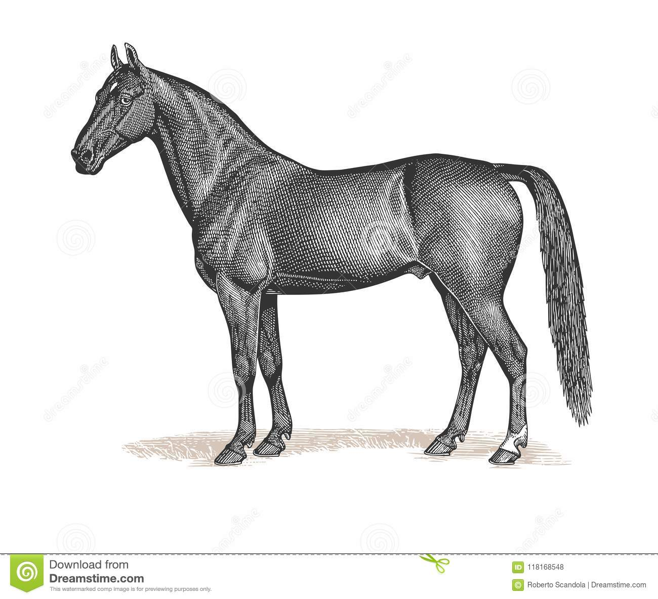 Horse Engraving Vintage Illustration Stock Vector Illustration Of Engraving Isolated 118168548