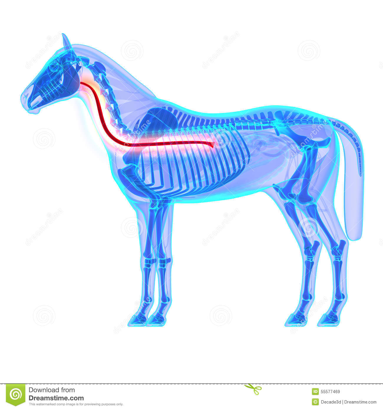Horse Esophagus - Horse Equus Anatomy - Isolated On White Stock ...