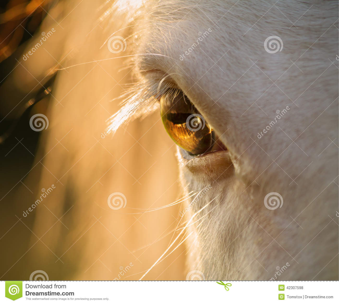 Download Horse Eye Close-up At Sunset Stock Photo - Image of equine, head: 42307598