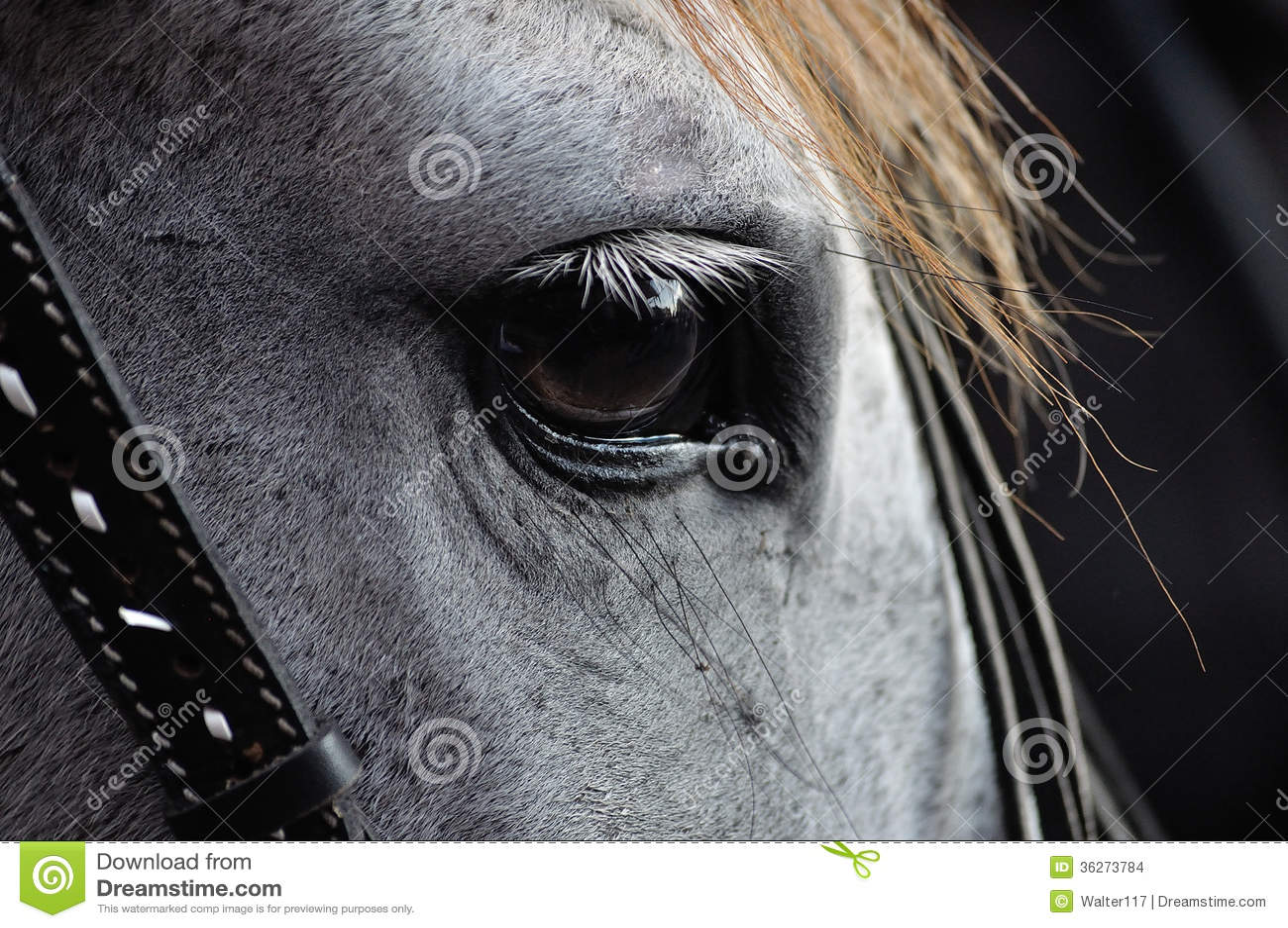 Horse Eye Closeup Stock Photo Image Of Dressage Draught 36273784