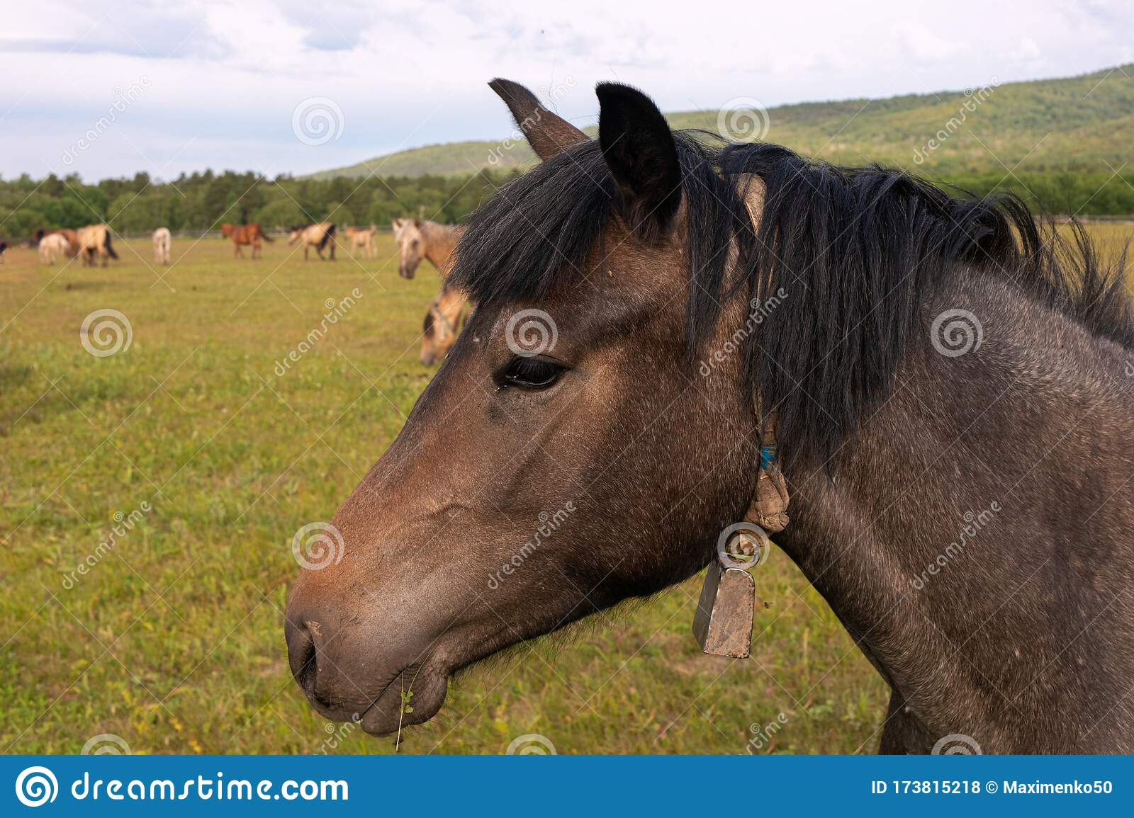 Horse Face Side View In Center Of Photograph On Background Of Pasture And Herd Of Horses Stock Photo Image Of Portrait View 173815218