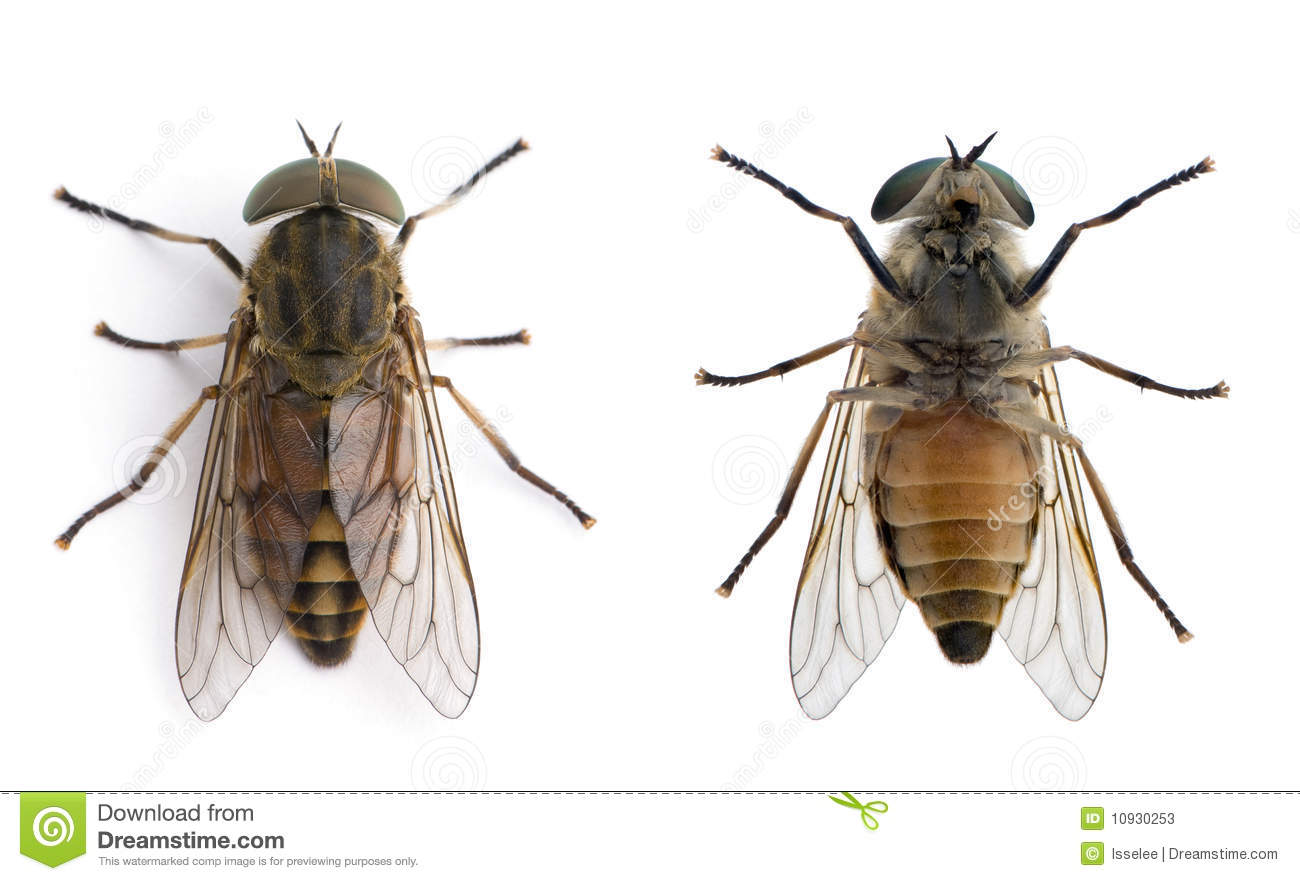 Horse flies in front of a white background