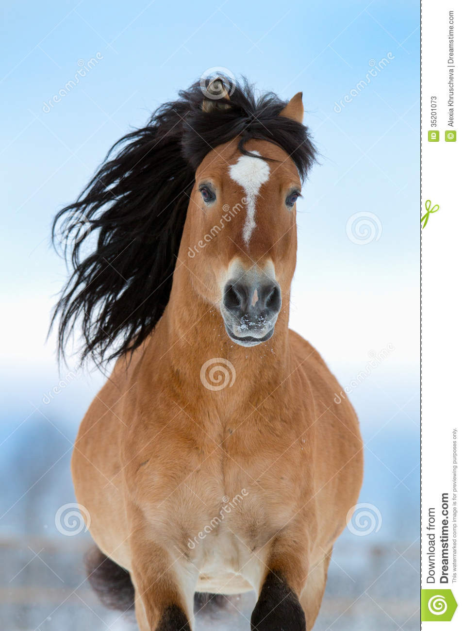 Horse Gallops In Winter, Front View. Stock Photos - Image: 35201073