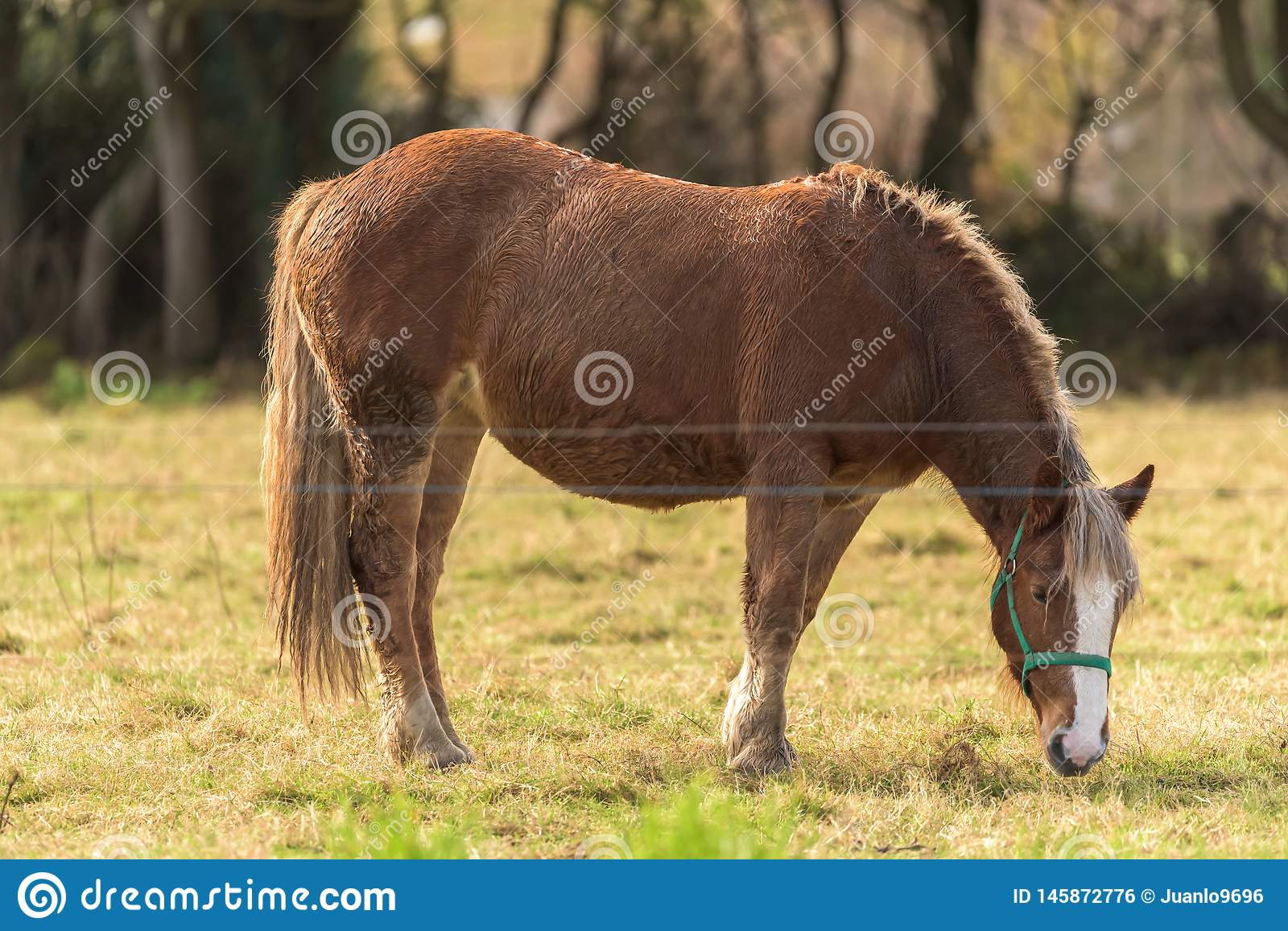 Horse. A horse grazes inside a farm in Asturias,Spain royalty free stock image