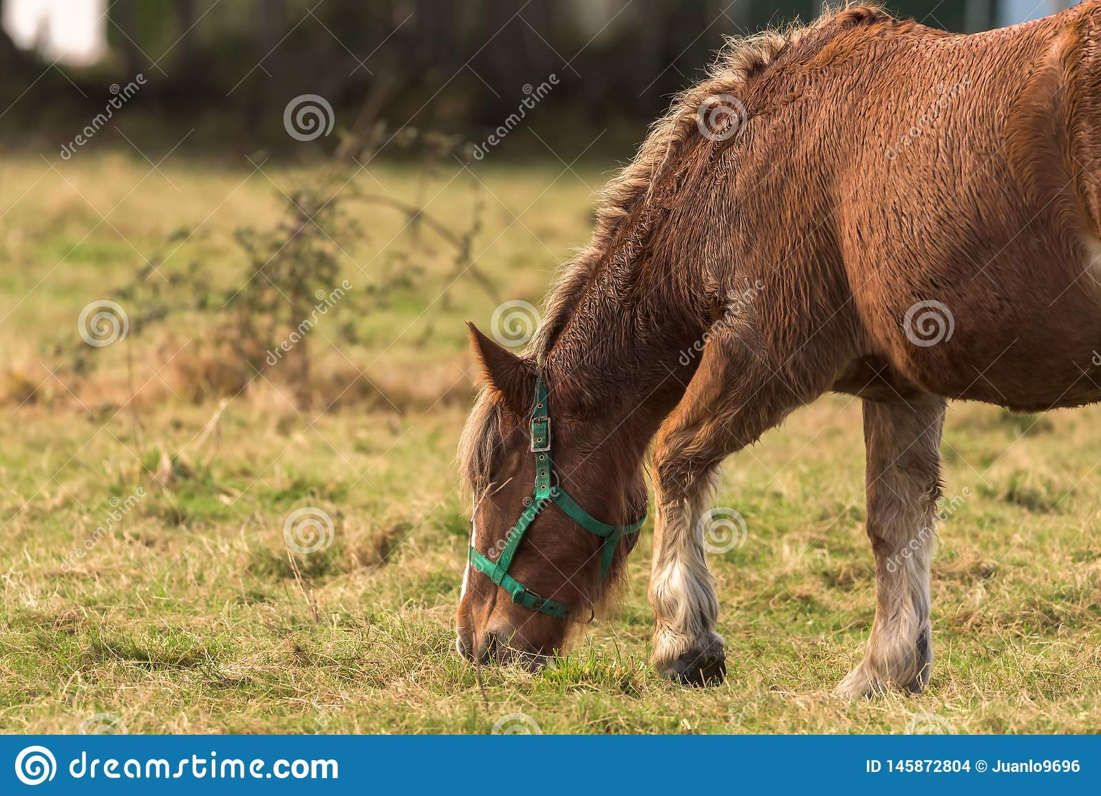 The horse. A horse grazes inside a farm in Asturias,Spain stock images