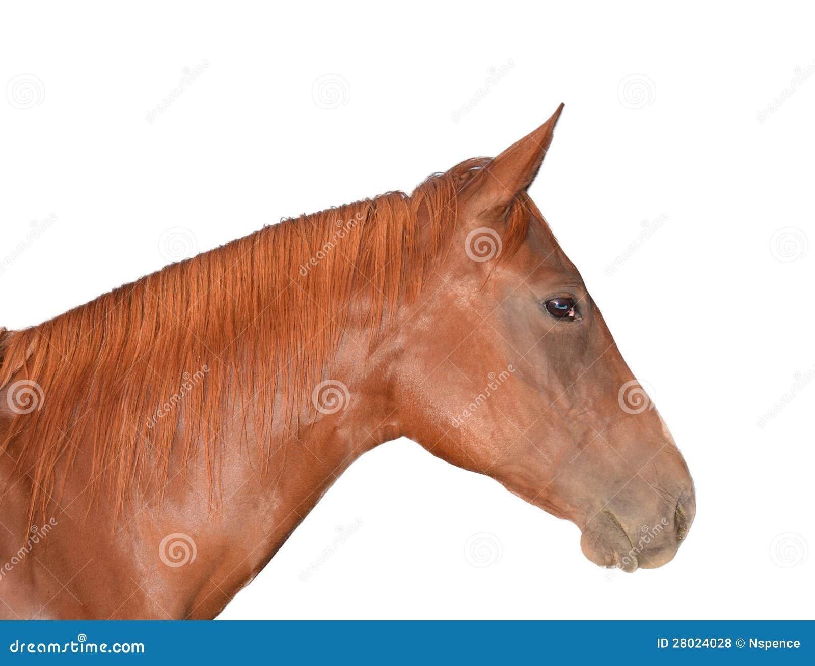 Horse Head Isolated On White Royalty Free Stock Photos - Image ...