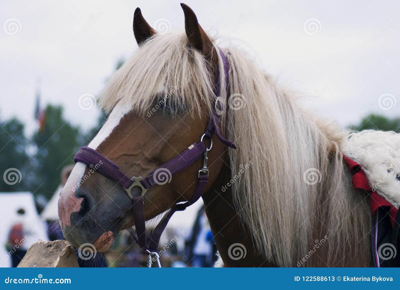 Horse Head Portrait The Animal Has Long White Hair Stock Image