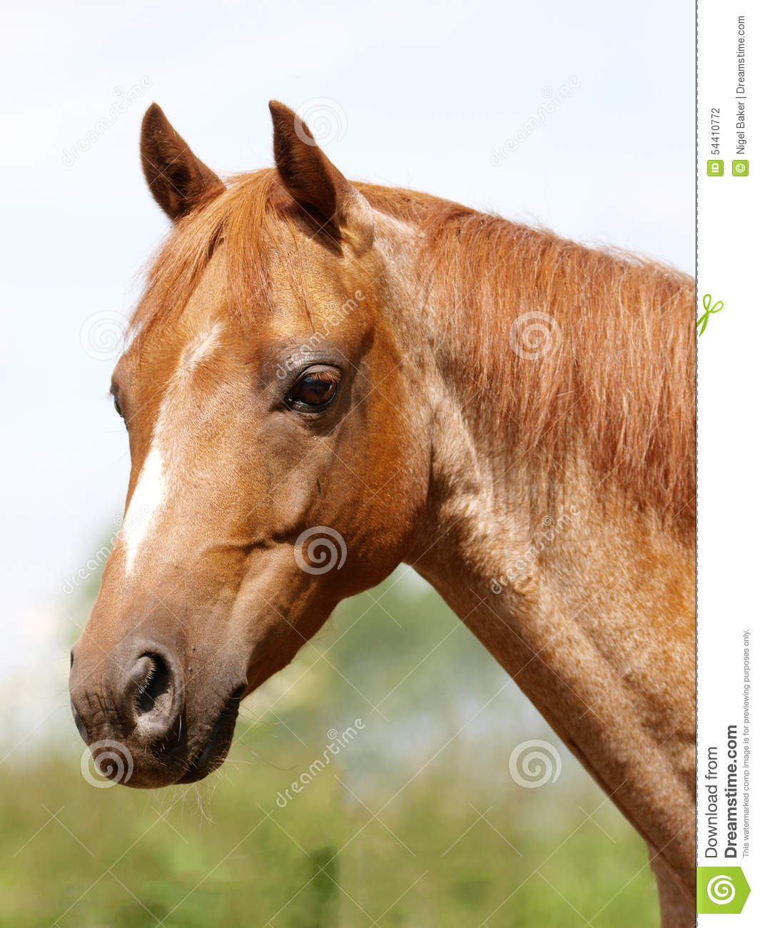 Horse Head Shot Stock Photo Image Of Pony Animal Ears 54410772