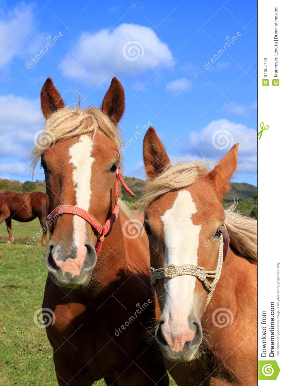 Horse Heads Stock Photos - Image: 34357793