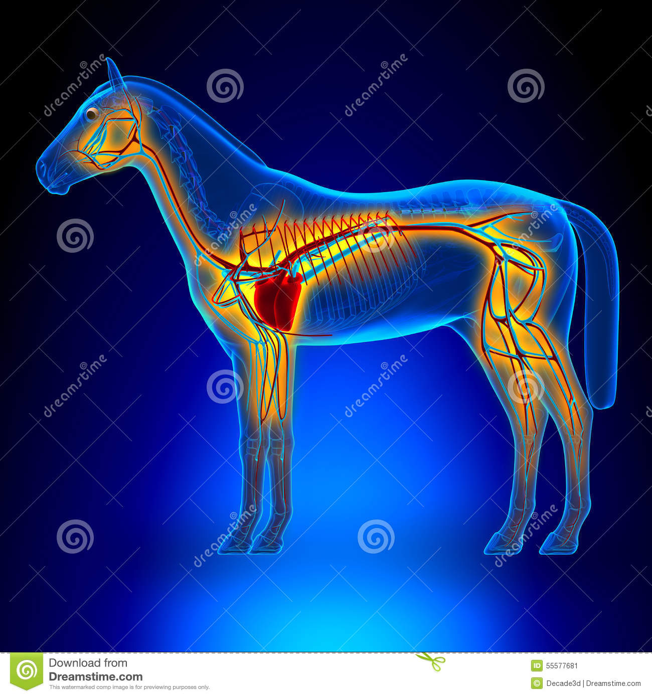 Heart and circulatory system stock vector illustration of horse heart circulatory system horse equus anatomy on blue b stock image ccuart Gallery