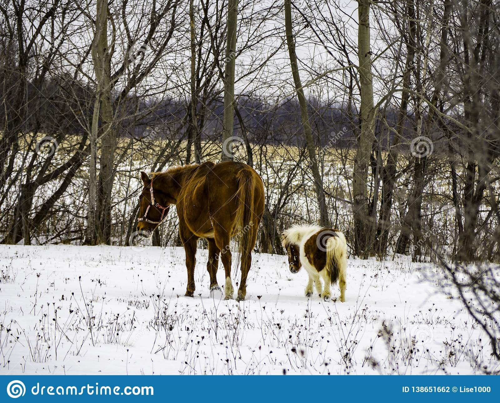 A Horse And Mini Horse Wandering In The Field Stock Photo Image Of