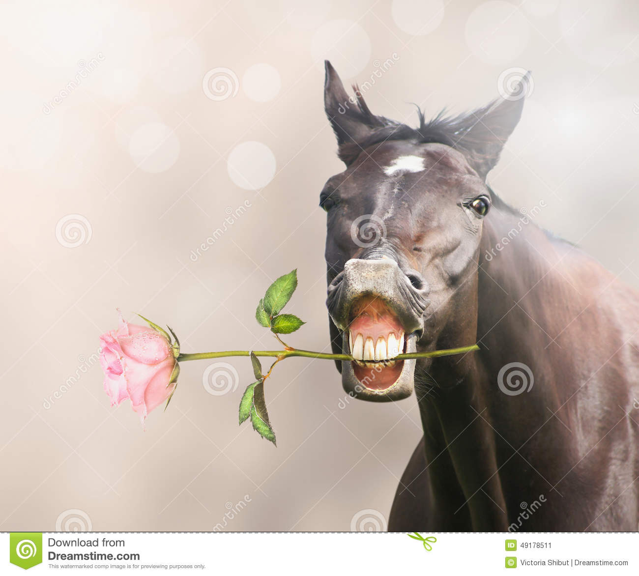 Horse With Pink Rose In Mouth On Bokeh Background Stock Photo - Image ...