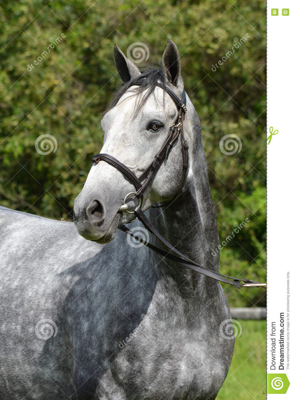 Beautiful Grey Waterproof Flooring Ideas For Living Room: Horse Portrait Stock Photo. Image Of Outdoor, Alert, Gray