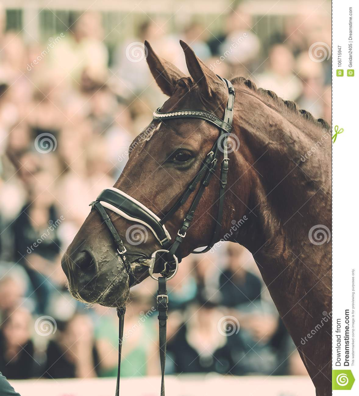 Horse In Competition At A Tournament In Portrait Editorial Photography Image Of Portraits Hobby 106715947