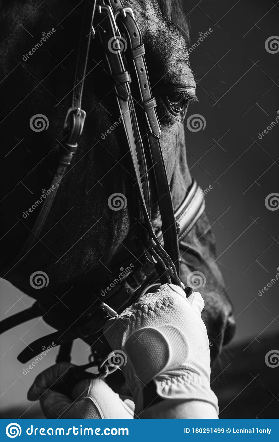 Horse Rider Saddle Up The Thoroughbred Horse For Dressage Or Equestrian Race Stock Image Image Of Stirrup Sweepstake 180291499