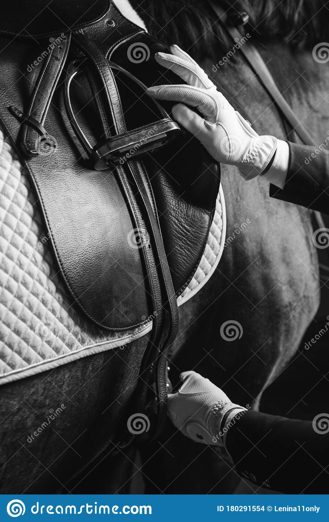 Horse Rider Saddle Up The Thoroughbred Horse For Dressage Or Equestrian Race Stock Photo Image Of Parimutuel Rider 180291554