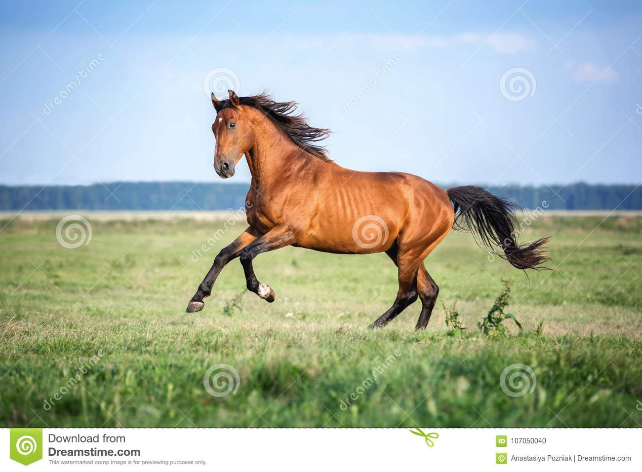 Horse Running Free On The Pasture Stock Photo Image Of Grass Portrait 107050040