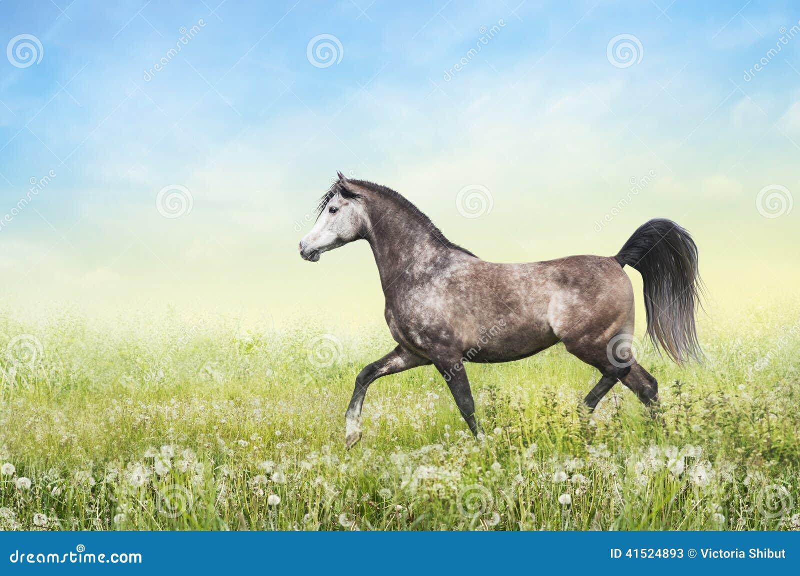 Horse running trot on summer pasture