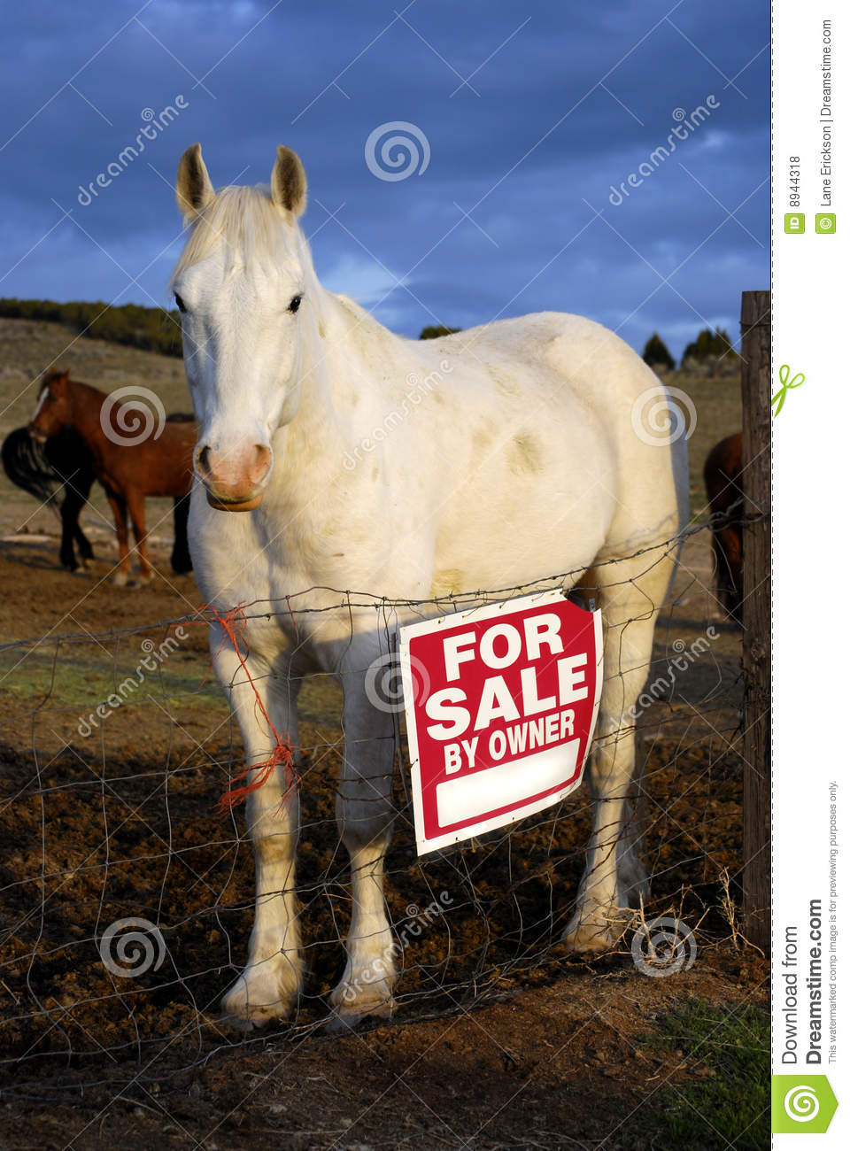 Horse For Sale Stock Photo Image Of Mammal Horse Rural 8944318