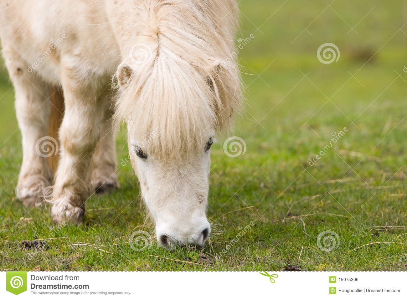 horse shetland pony grazing royalty free stock image image 15075306. Black Bedroom Furniture Sets. Home Design Ideas