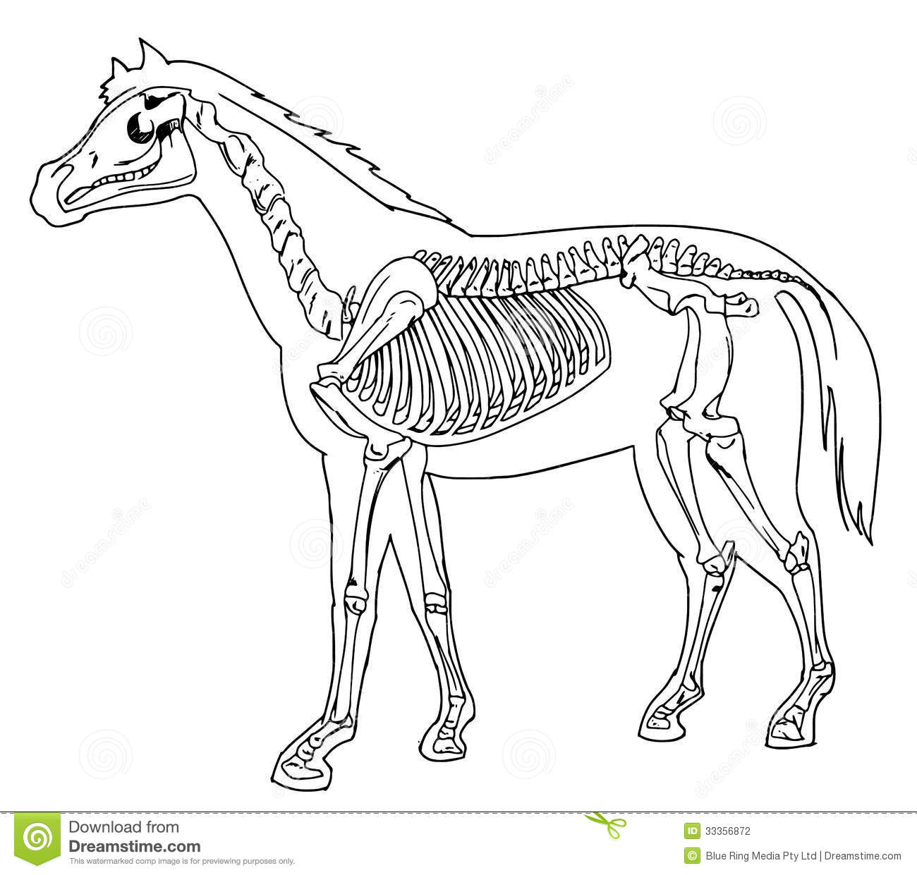 Horse Skeleton Stock Illustration  Illustration Of Equine