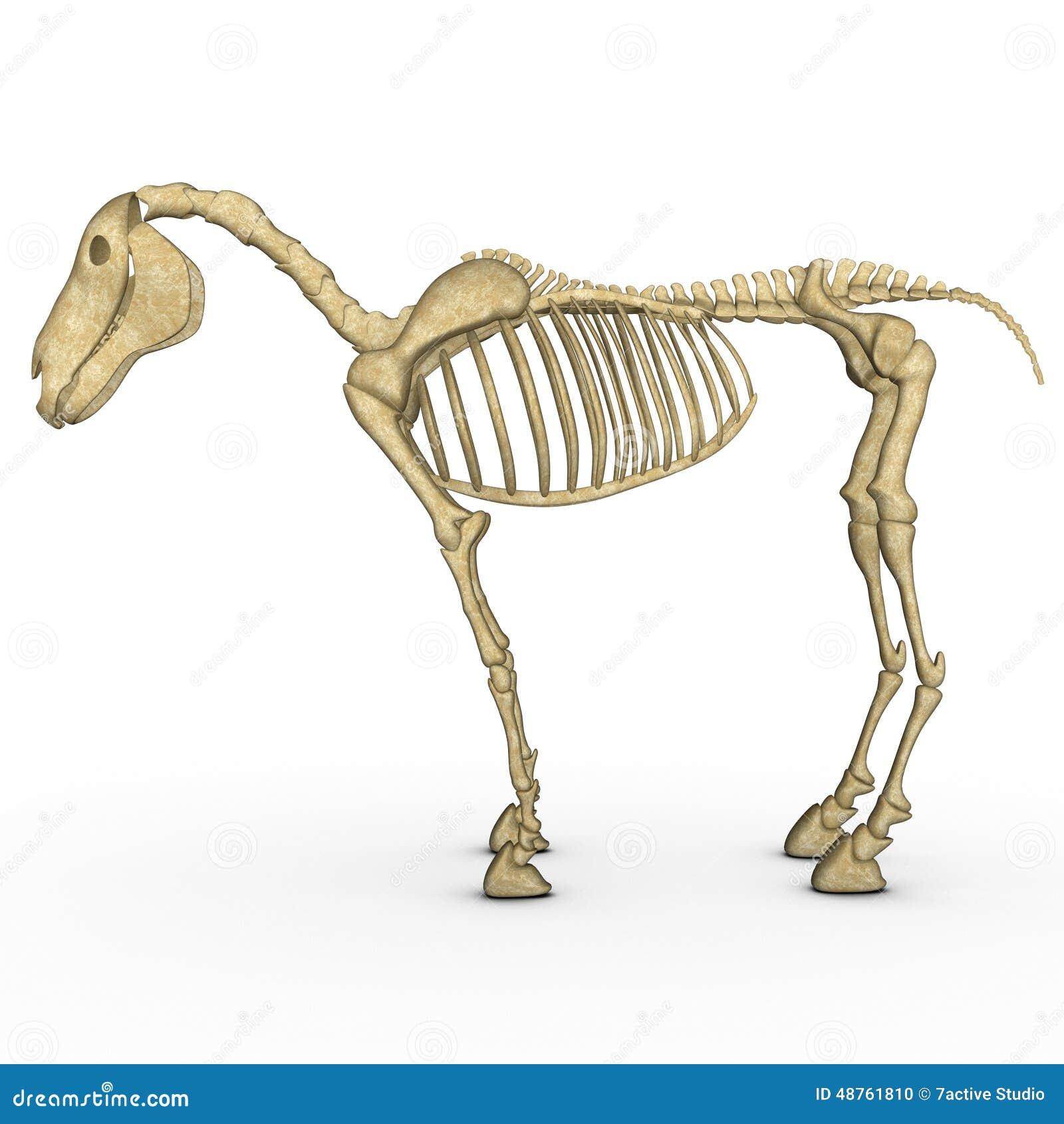 Horse Skeleton Stock Illustration Illustration Of Body 48761810