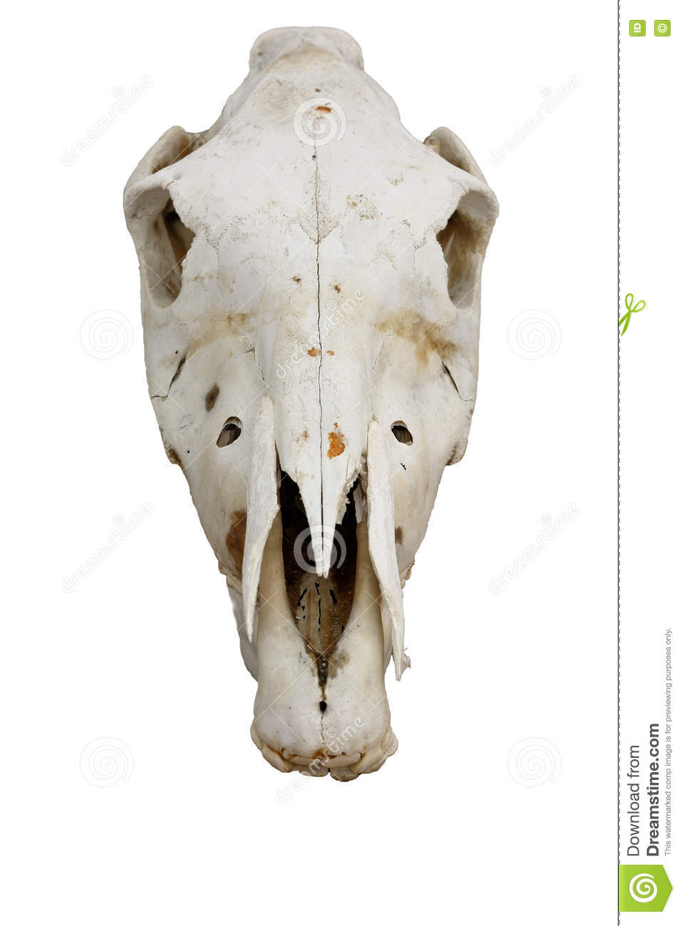 Horse Skull Stock Photo Image Of Isolated Physiology 74713462