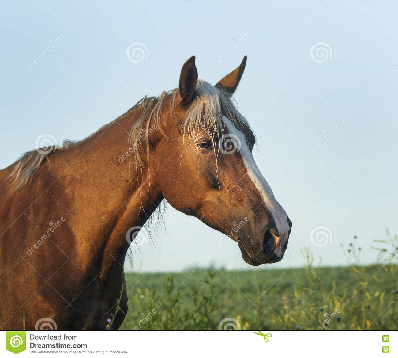 Purebred Arabian Horse. Chestnut mare with foal trotting