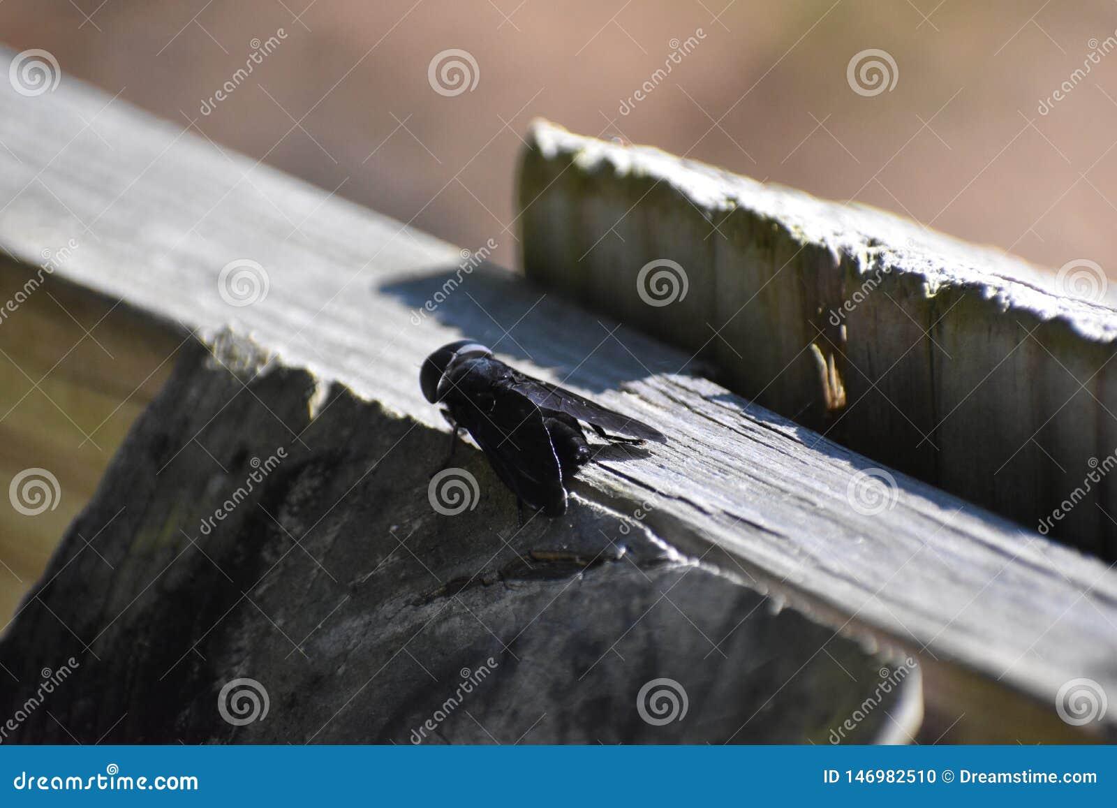 Horsefly obsiadanie na poczcie