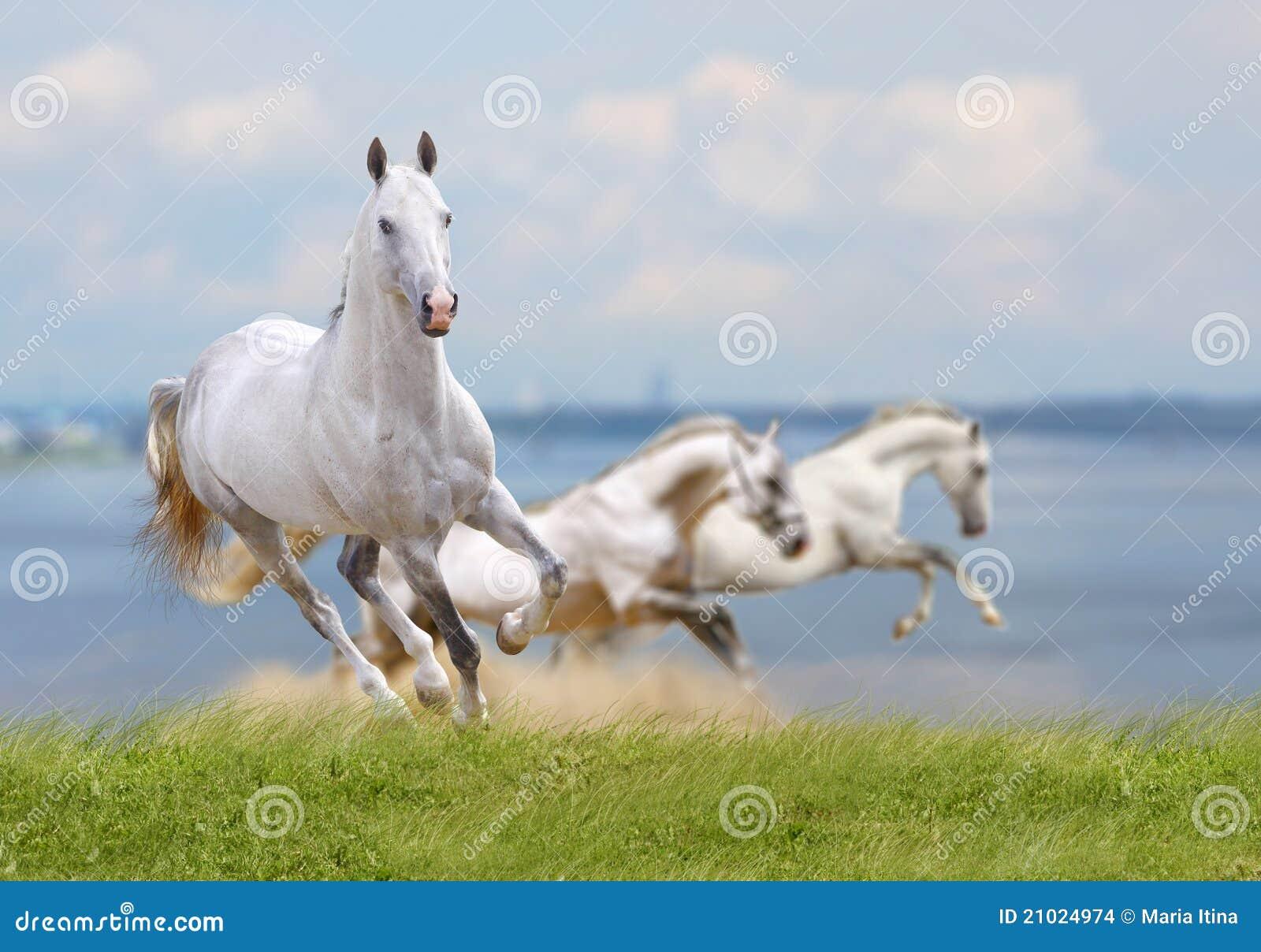 Horses Stock Photo Image Of Equestrian Dust Gray Mane 21024974