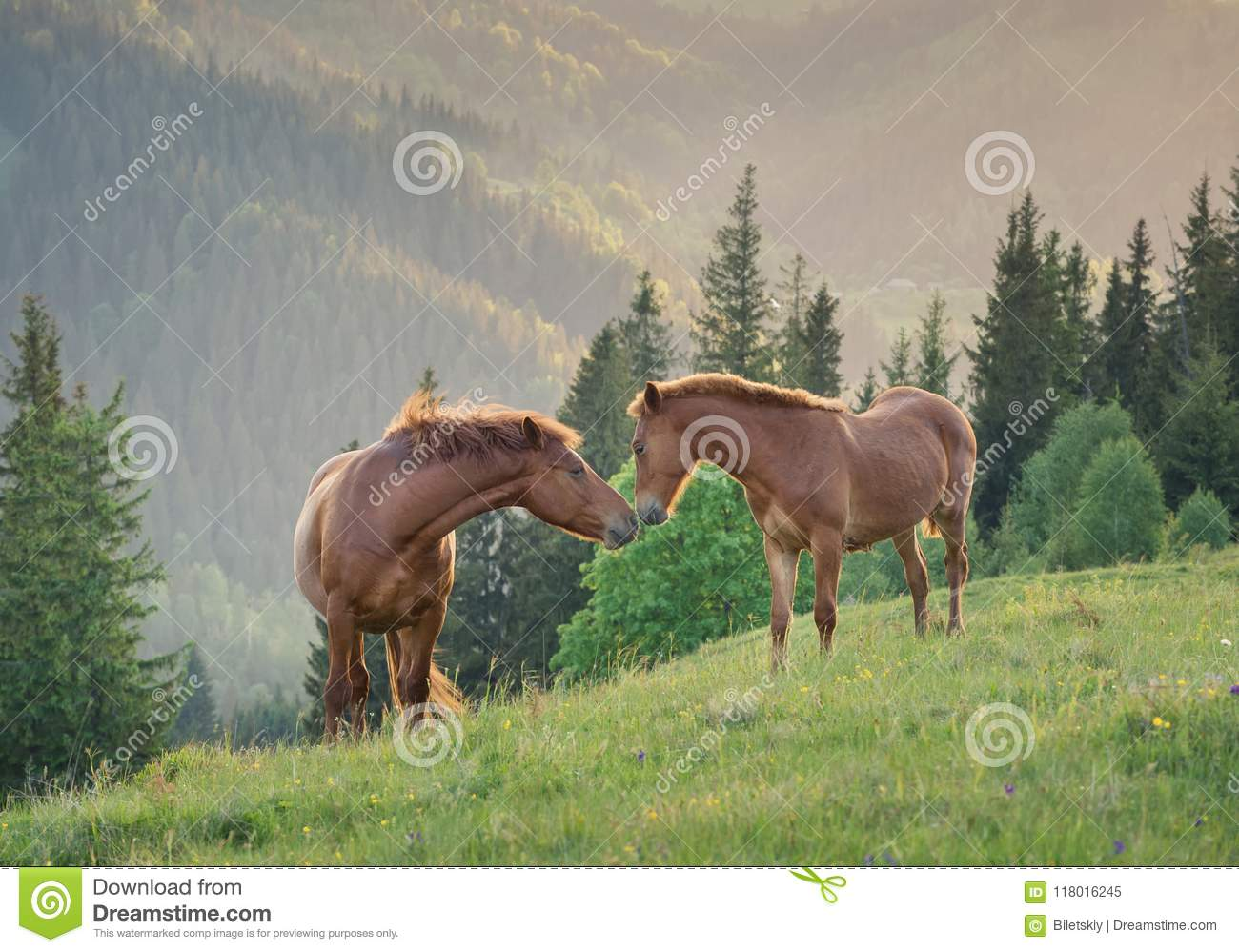 Horses Couple On The Mountain Field During Sunset Stock