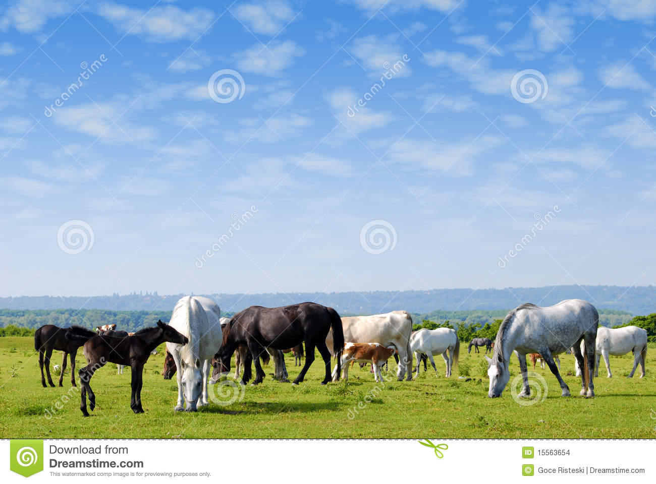 Horses drove on pasture