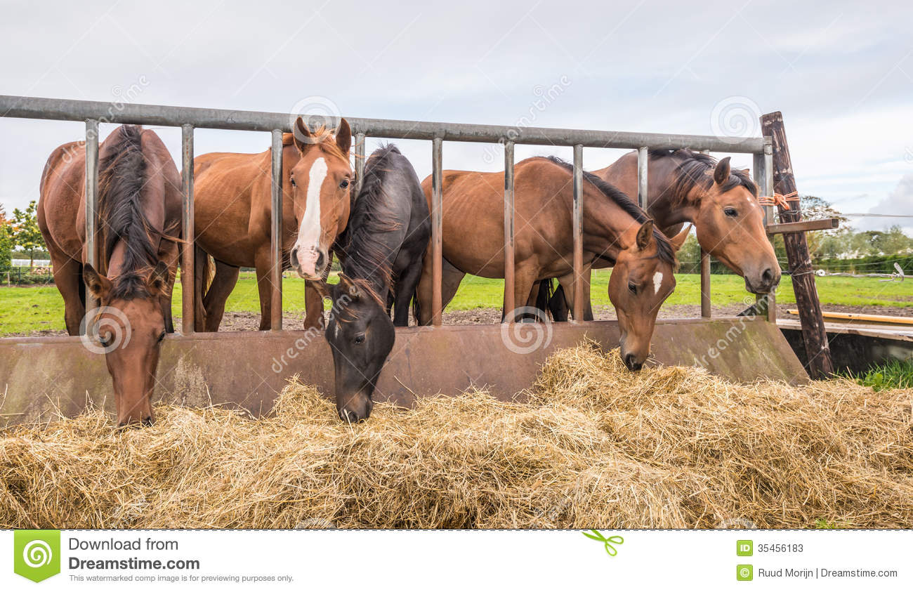 Horses eating at a feed fence stock image of close