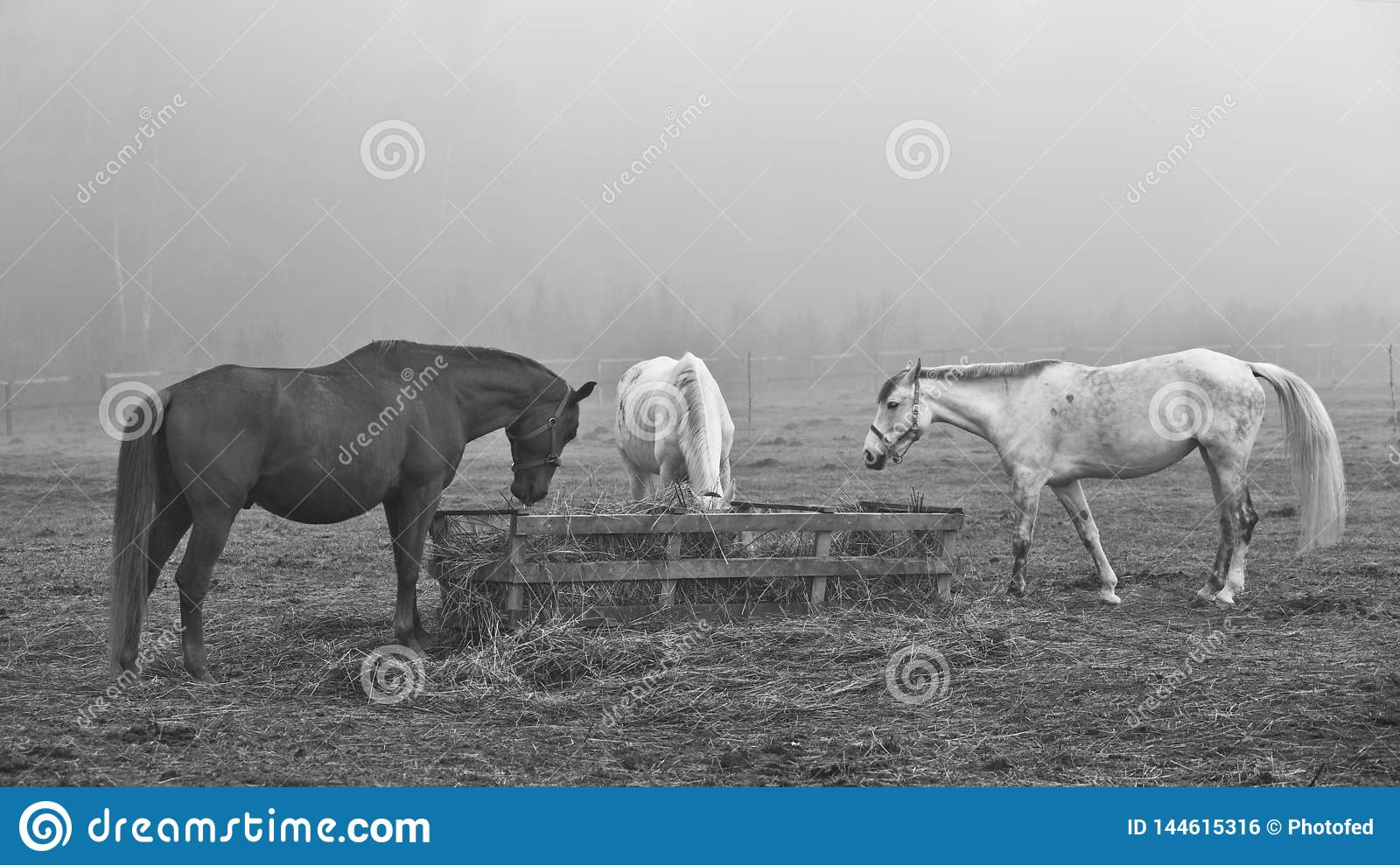 Horses in the field, in the pasture eating hay.