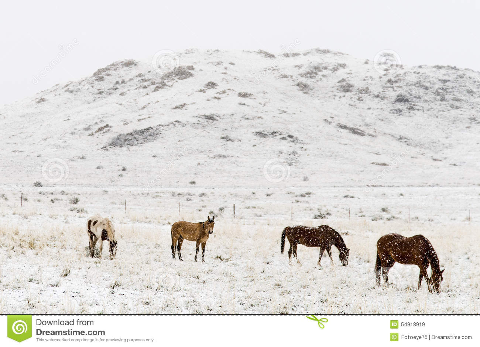 Horses grazing in winter snow colorado rocky mountains