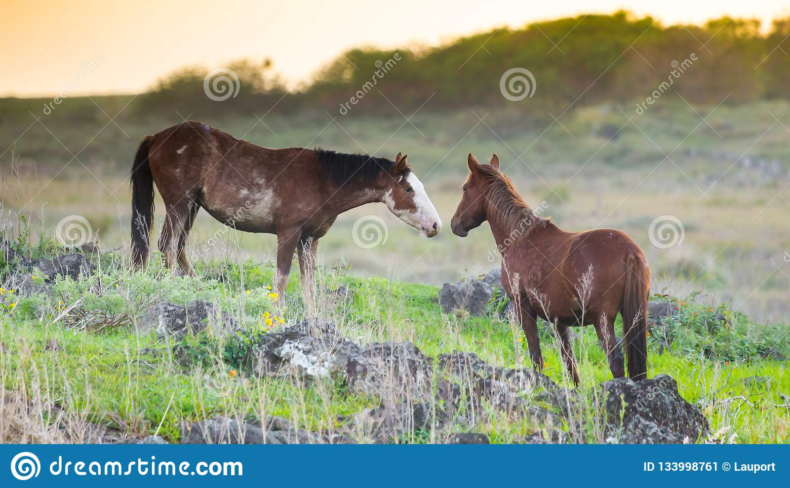 Horses greeting each other Easter Island