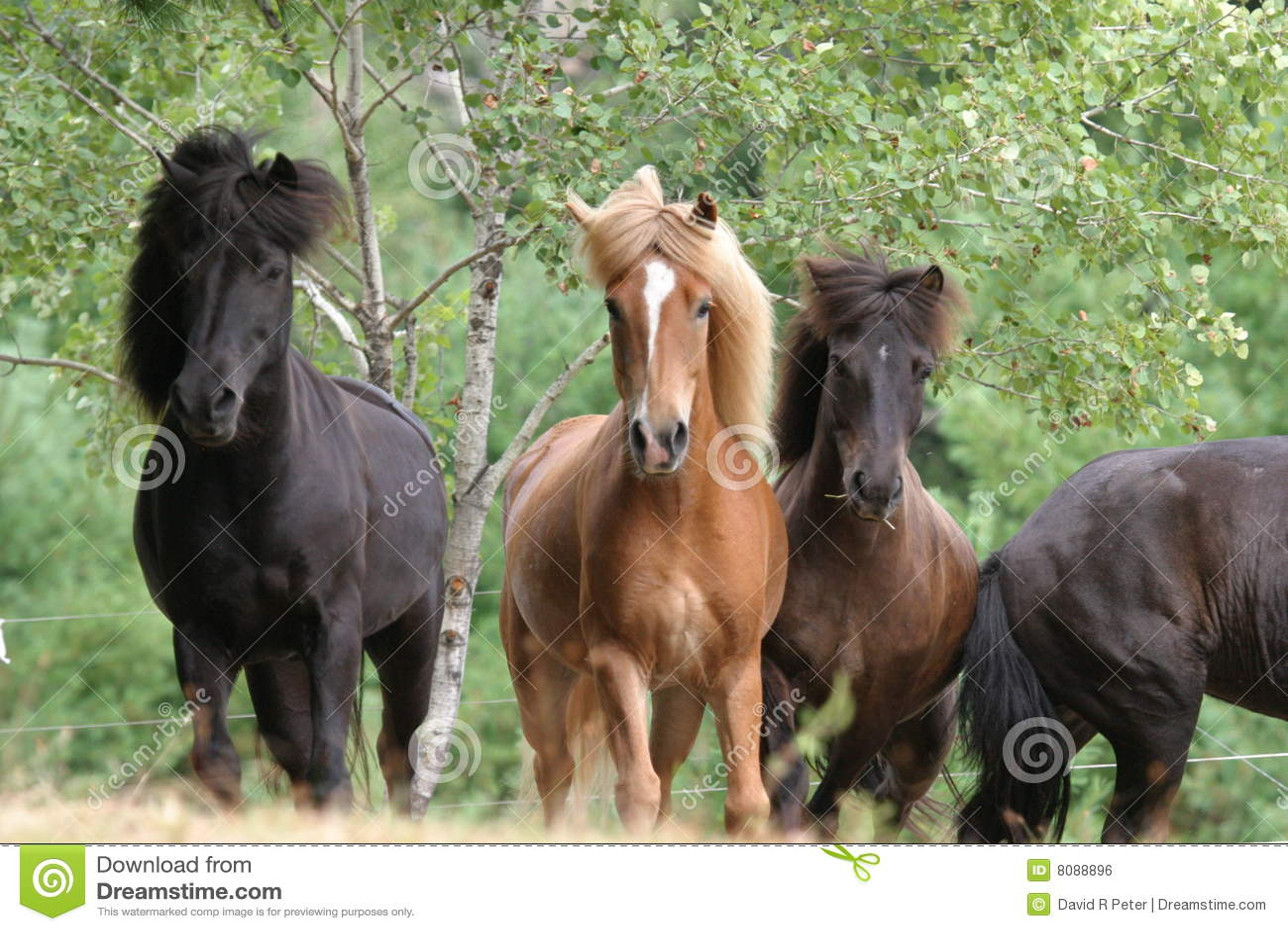 Horses- Icelandic