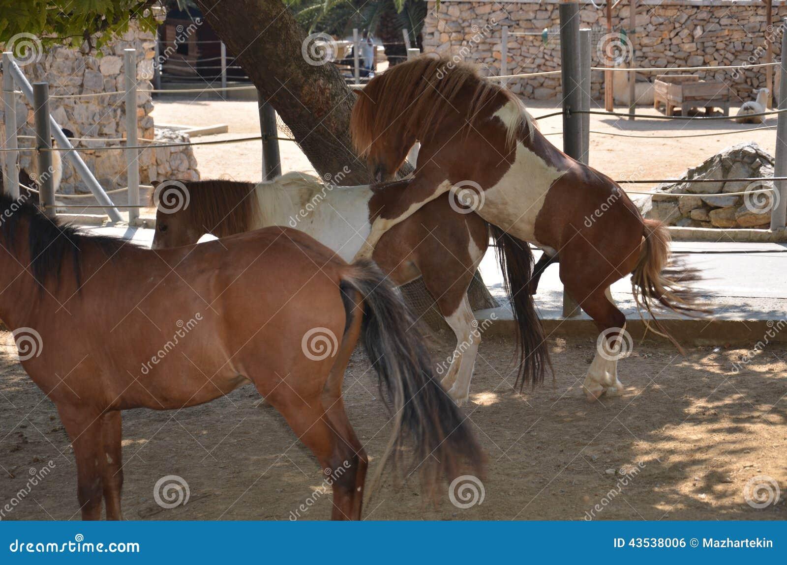 Horses mating season stock photo  Image of horses, darica