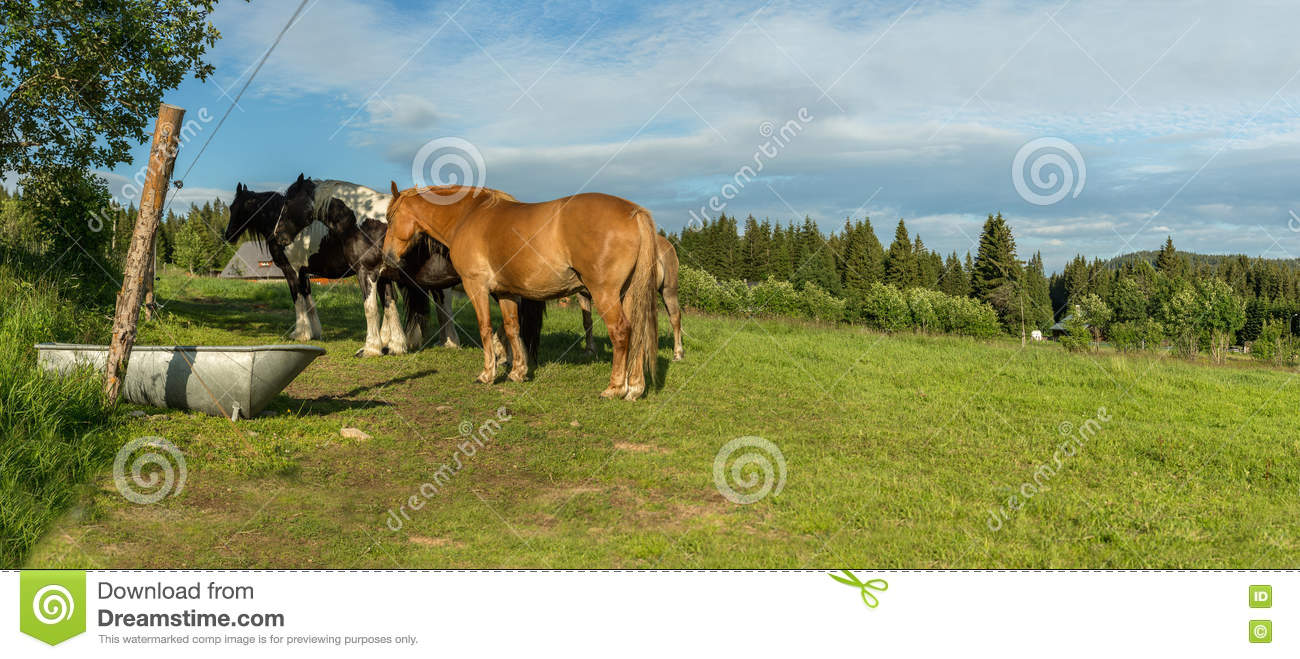 Horses in a meadow in the Sumava, South Bohemia, Czech Republic