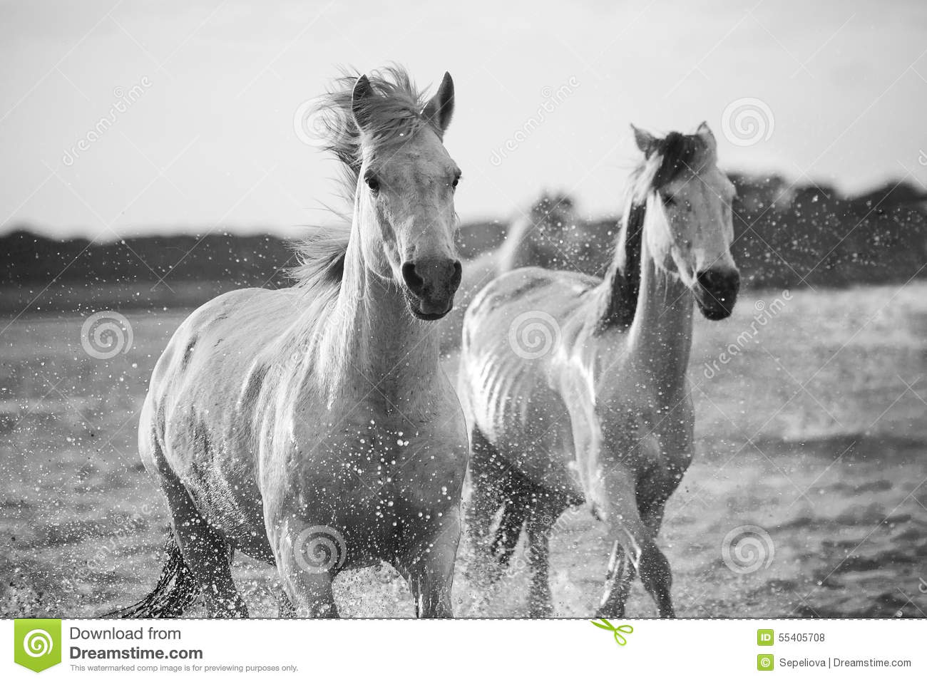 Horses Running In The Water Stock Photo - Image: 55405708
