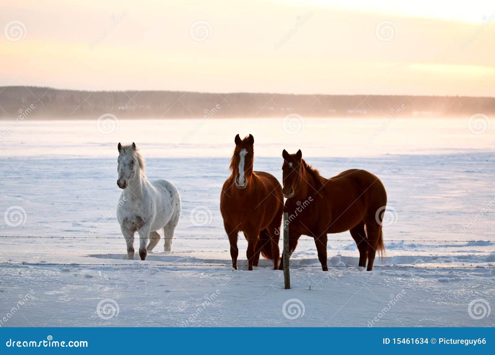 Horses in a Saskatchewan winter pasture