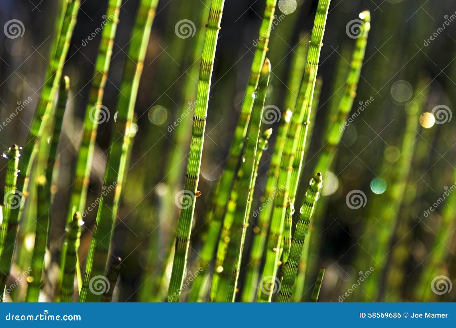 Horsetail gras