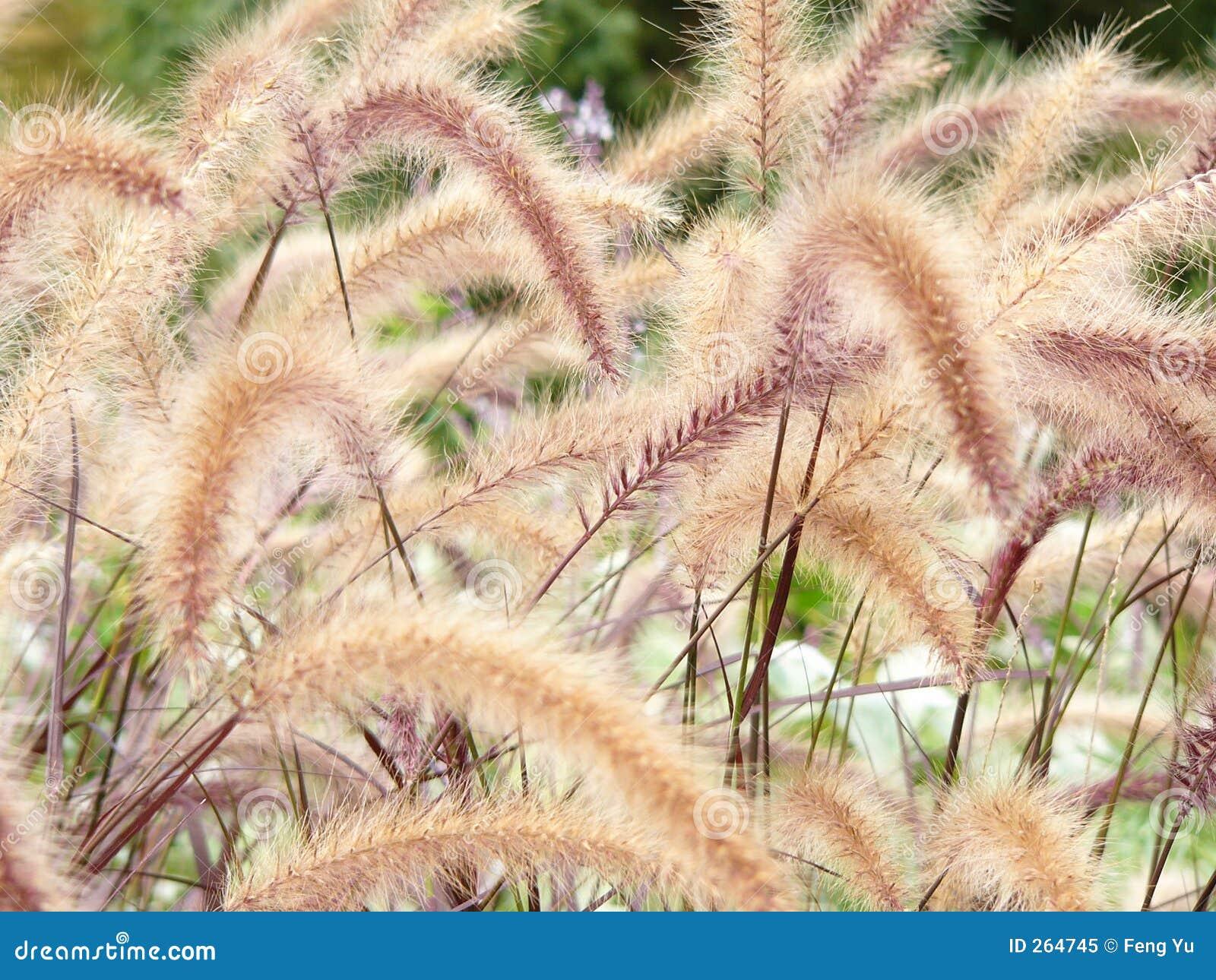 Horsetails van het gras