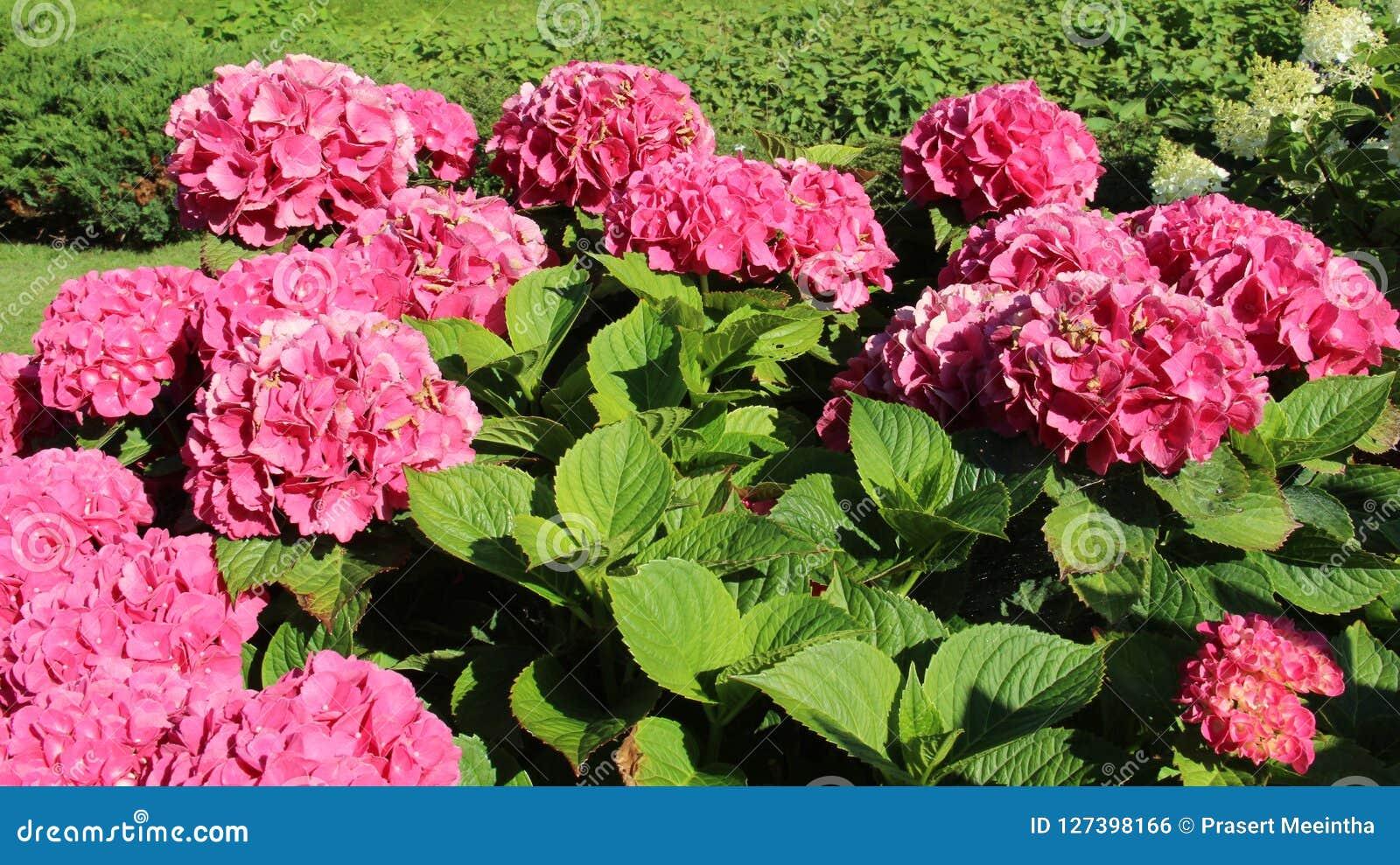 Hortênsia cor-de-rosa de florescência com cercas verdes