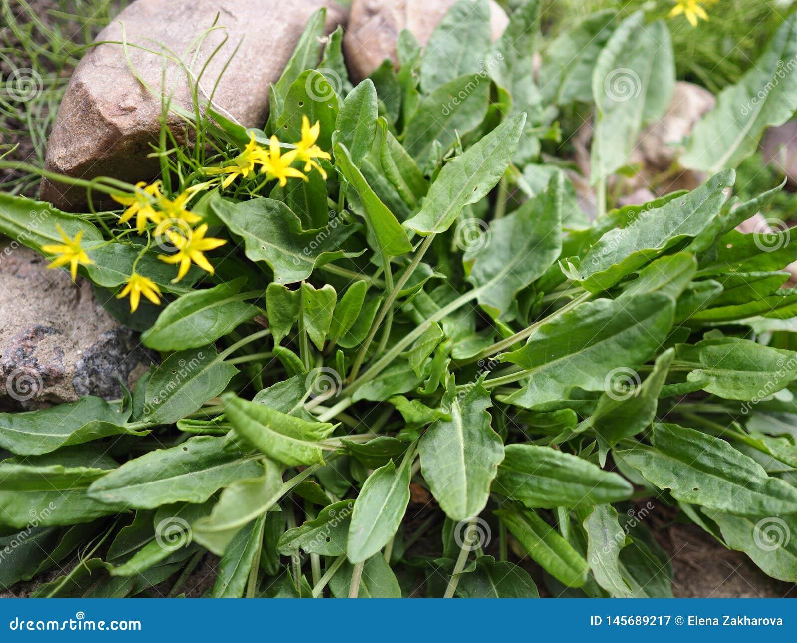 Hortaliças e grama decorativa de florescência nas pedras