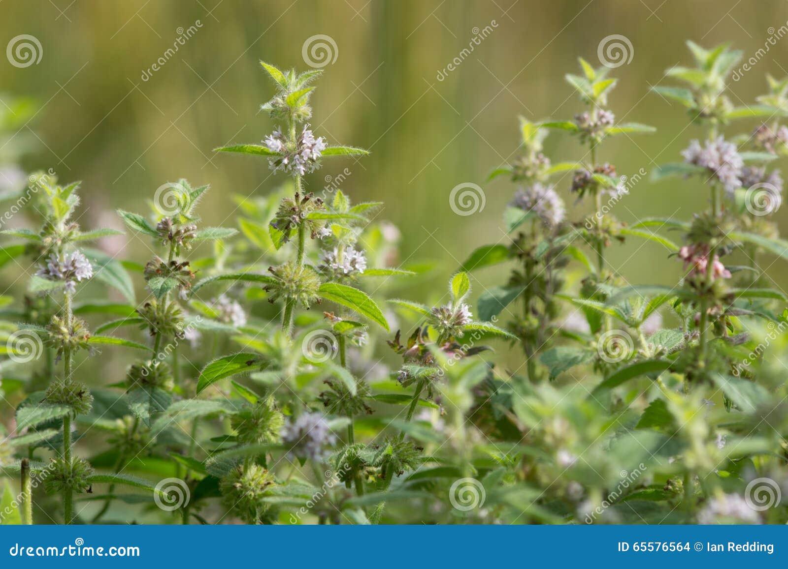 Hortelã de milho (arvensis do Mentha) na flor
