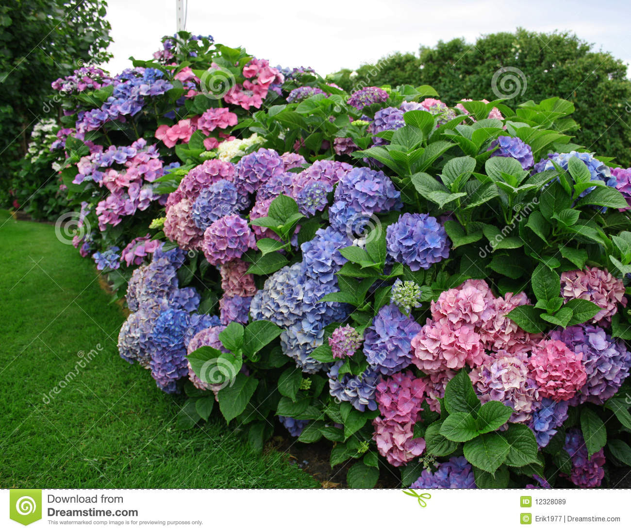 Hortensia stock image image of hydrangeas color for Arbustos de jardin nombres
