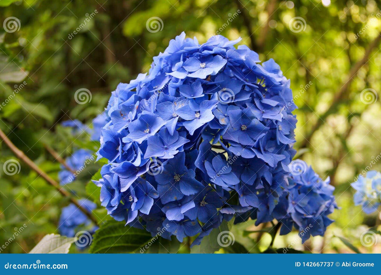 Hortensia azul en la plena floración